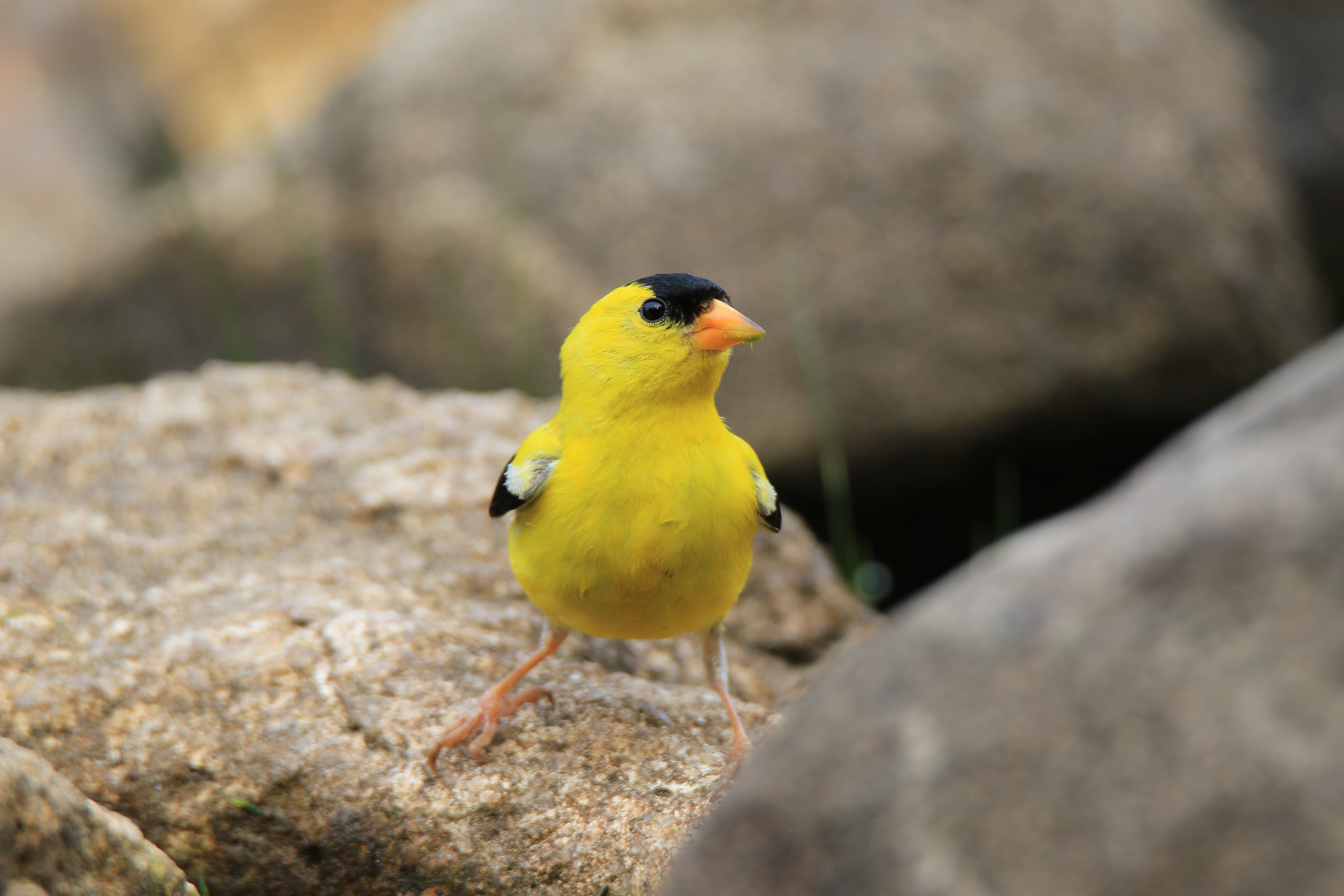 wild yello canary sitting on rocks