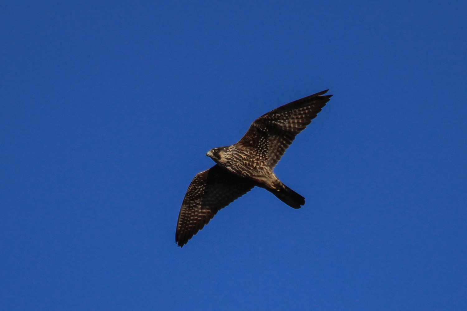 A subadult peregrine falcon in flight.