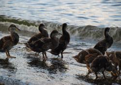 birds_-_main_-_ducklings