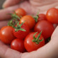 A handful of cherry tomatoes picked fresh from a plot at the Hopatcong Community Garden last August.