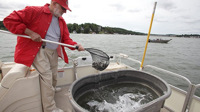 Red Regetz, a Knee Deep Club trustee, scoops a net full of fingerlings out of a bucket and into Lake Hopatcong near Chestnut Point.