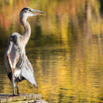 Bright's Cove heron by Bill Breda.