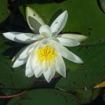 Hopatcong Canal Water Lily by Brendan Adely